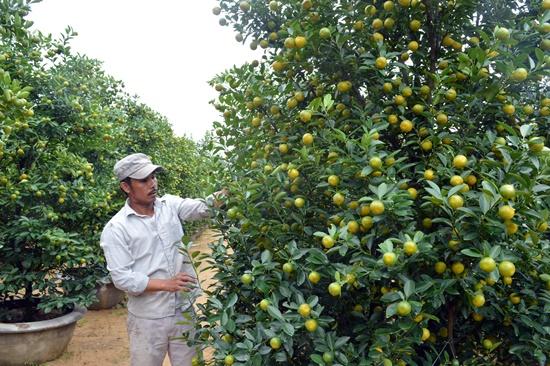 Cây quật vườn ông Nguyễn Quang cho thuê tét  giá 12 triệu đồng