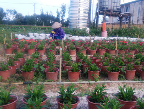 Hoa tết đa chủng loại ở làng hoa xã Duy Trung, huyện Duy Xuyên. Ảnh: HOÀNG LIÊN