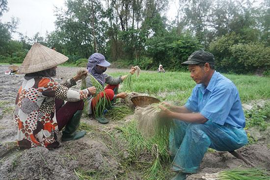 Nông dân thôn Cổ Linh thu hoạch nén. Ảnh: GIANG BIÊN