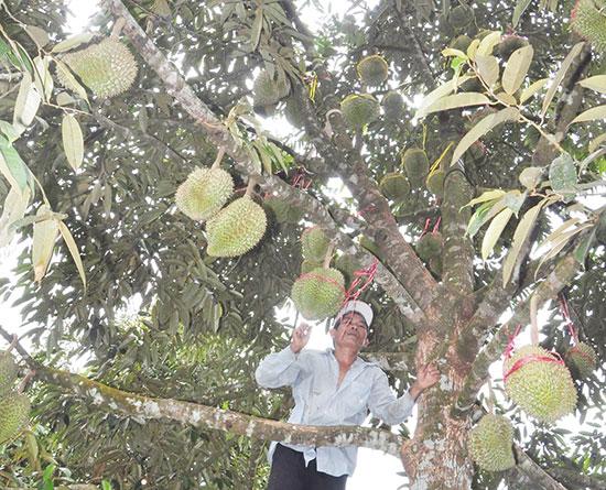 Sầu riêng vườn nhà anh Bảy Khoa mỗi mùa thu hoạch bán được cả trăm triệu đồng. ẢNH: N.Đ.AN