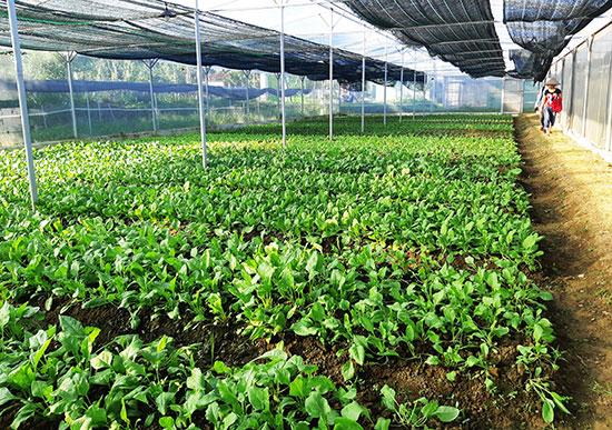 Mô hình nông nghiệp ứng dụng công nghệ cao ở huyện Phú Ninh. Ảnh: HOÀNG LIÊN