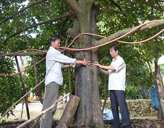 Cây măng cụt hơn 70 năm tuổi của gia đình anh Phạm Văn Lục (thôn 6) Tiên Mỹ, mỗi năm cho thu hoạch hơn 300kg quả. Ảnh: N.H
