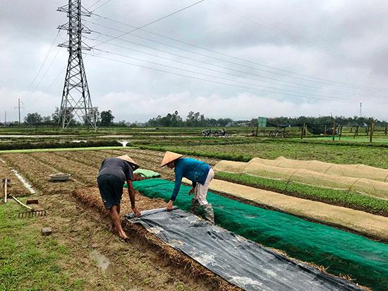 Một hộ dân ở thôn An Hòa (xã Tam An) cần thận trải từng lớp rơm, ni lông đề phòng mưa làm hỏng luống cải mầm vừa mới gieo hạt. Ảnh: V.A