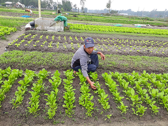 Người nông dân tự tay nhổ cỏ thay vì dùng thuốc.