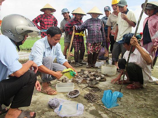 Từ đầu vụ đông xuân đến nay, nông dân Duy Xuyên đã diệt hơn 21.000 con chuột. Ảnh: H.N