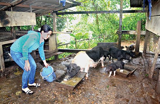Nuôi heo đen giúp gia đình chị Nguyễn Thị Phương thoát nghèo, có nguồn thu nhập khá. Ảnh: Quang Việt