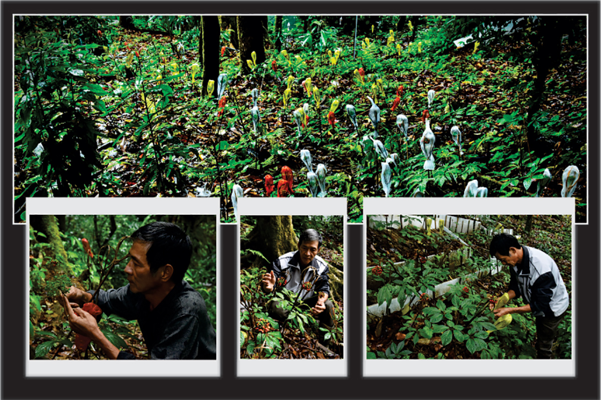 Một góc vườn sâm của ông Bùi Như Chương được bao bọc bằng bao lưới với nhiều màu sắc khác nhau và giỏ tre nhỏ để bảo vệ hạt sâm không bị chuột cắn phá. Người trồng sâm đợi những quả sâm vừa chín thì tháo bao lưới ra để chuẩn bị thu hái chùm hạt làm giống.