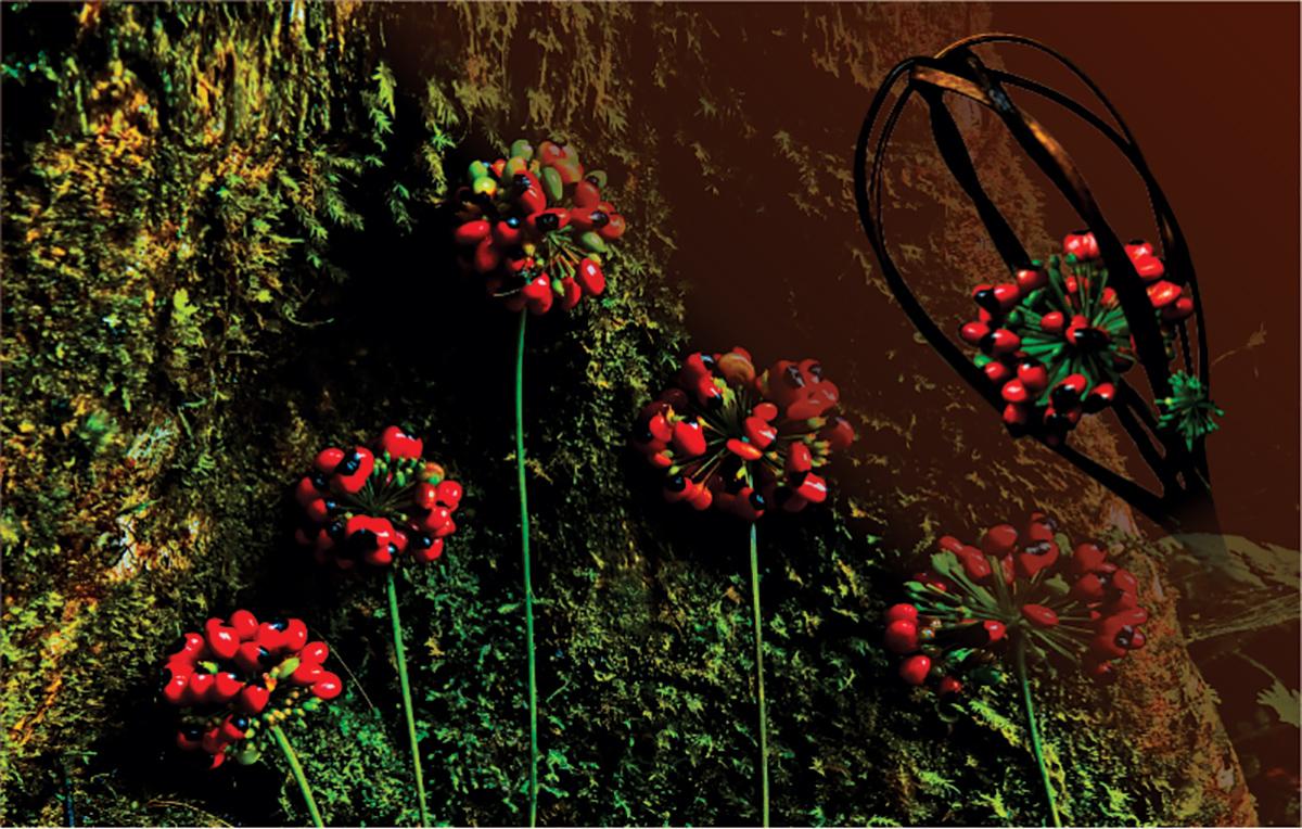 Những chùm sâm chín đỏ mọng như những viên ngọc đang còn nằm giữa giỏ tre nhỏ làm giá đỡ cho bao lưới Chùm hạt sâm chín vừa được tháo khỏi bọc lưới để chuẩn bị thu hoạch làm giống.