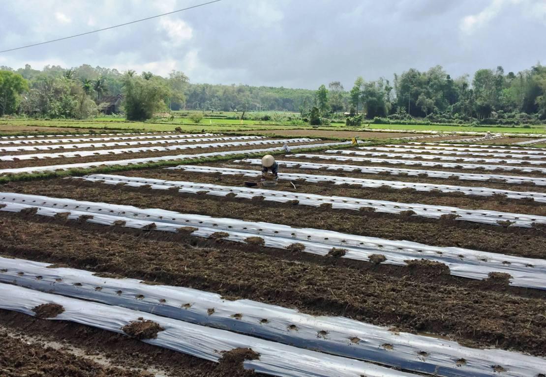 Nhiều nông dân Phú Ninh đã chuẩn bị xuống giống cho vụ dưa hấu đông xuân năm nay. Ảnh: L.T
