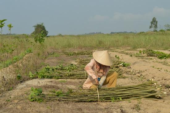 Với giá bán thân dâu 3000 đồng/ký sẽ giúp người nông dân có thêm khoảng thu nhập