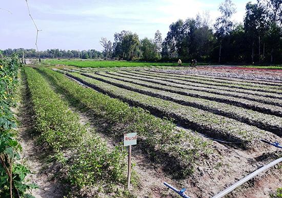 Cánh đồng chuyên canh rau củ quả của Hợp tác xã nông nghiệp Kỳ Anh, xã Tam Phú. Ảnh: X.T