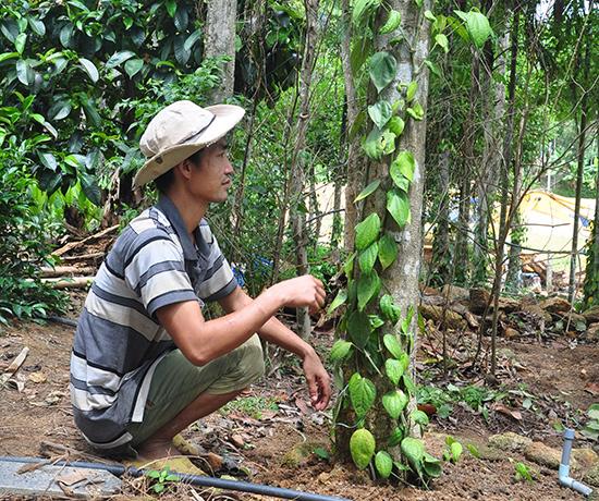 Anh Ngọc chăm sóc tiêu giống Tiên Phước trồng được hơn một năm. Ảnh: N.Đ.A