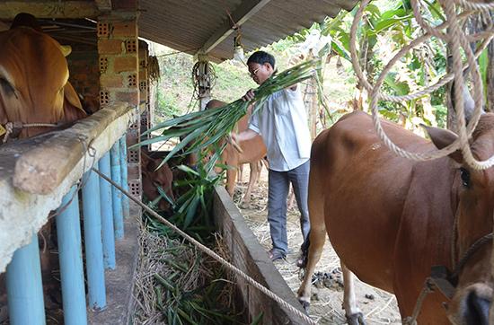 Chăn nuôi bò lai thâm canh theo phương pháp nuôi nhốt tạo ra hướng đi mới cho nông dân xã Tiên Sơn.