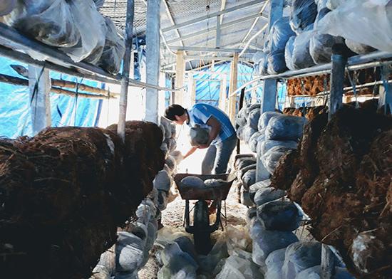 Sử dụng phế phẩm nông nghiệp làm nguyên liệu sản xuất vừa tạo sinh kế cho người dân, vừa góp phần giảm ô nhiễm môi trường.  Trong ảnh: Mô hình sản xuất nấm rơm của một hộ dân ở huyện Thăng Bình. Ảnh: B.A
