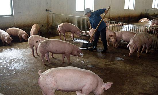 Ngành chức năng và chính quyền các địa phương cần tăng cường giám sát dịch bệnh tại các cơ sở chăn nuôi heo. Ảnh: VĂN SỰ
