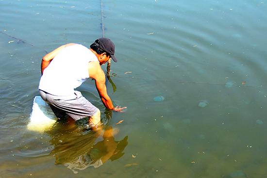 Những con sứa nổi bồng bềnh trên mặt nước, người dân chỉ việc dùng tay hoặc vợt để bắt.  Ảnh: ĐĂNG NGUYÊN