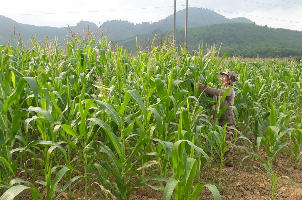 Người dân tận dụng cây bắp cho bò ăn vì không có khả năng cho thu hoạch