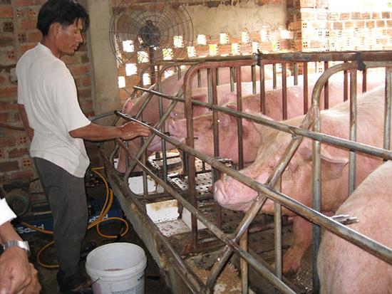 Thiếu thông tin về dịch tả lợn châu Phi gây lo ngại cho người tiêu dùng và ảnh hưởng đến người chăn nuôi. Ảnh: Văn Phin