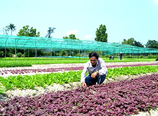 Người dân thôn Hưng Mỹ trồng rau sạch VietGAP. Ảnh: QUANG VIỆT