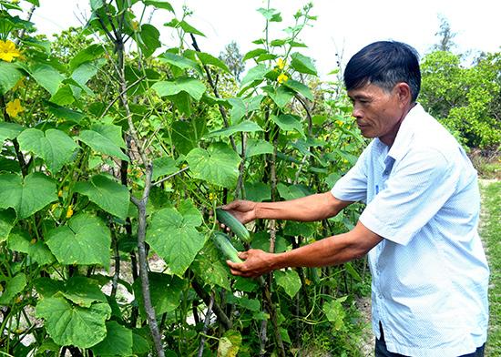 Cây dưa leo góp phần nâng cao thu nhập cho gia đình ông Hồ Văn Phúc, thôn Vân Tây, xã Bình Triều, Thăng Bình. Ảnh: NGUYỄN QUANG