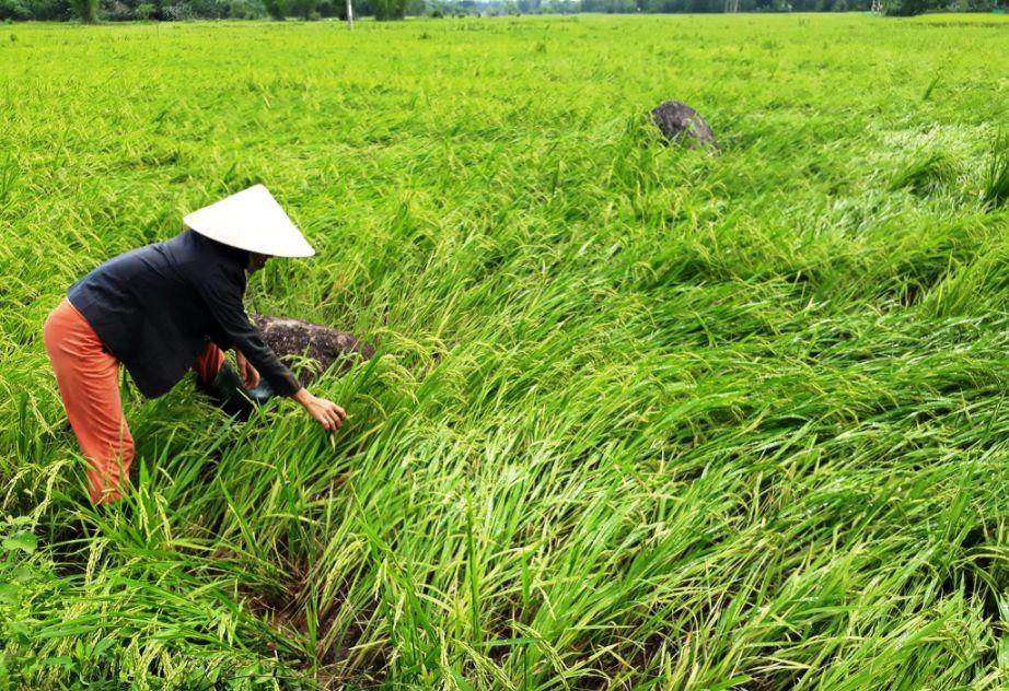 Lốc xoáy kèm theo mưa khiến 2.000ha lúa đông xuân đang trổ đòng – ngậm sữa ở nhiều địa phương của Quế Sơn bị ngã đổ nghiêm trọng.