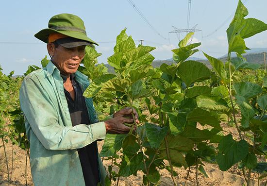 Dù năng suất lá dâu khá cao nhưng nỗi lo của người dân xã Điện Quang chính là giống tằm. Ảnh: V.LỘC