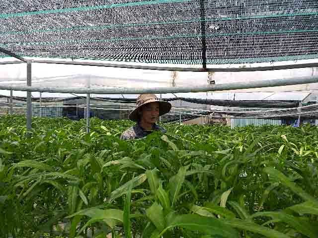 Huynh Nghiep and his vegetable garden