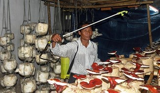 Nhờ được hướng dẫn kỹ thuật, nhiều hộ dân có nguồn thu nhập khá từ mô hình trồng nấm