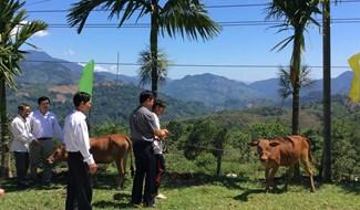 Chính quyền trao tặng bê cho hộ đăng ký thoát nghèo ở huyện Nam Trà My